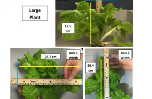 images from protocol of measuring lettuce leaves